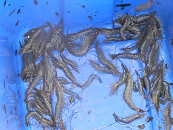 shrimp net