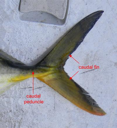 caudal fin