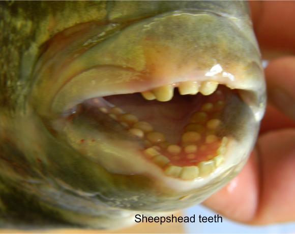 sheepshead teeth