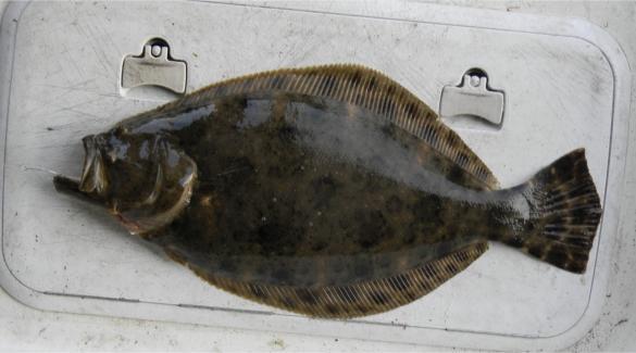 southern flounder