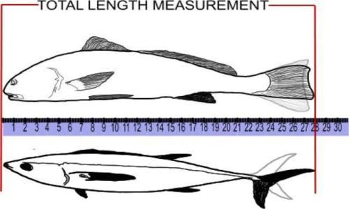 total length