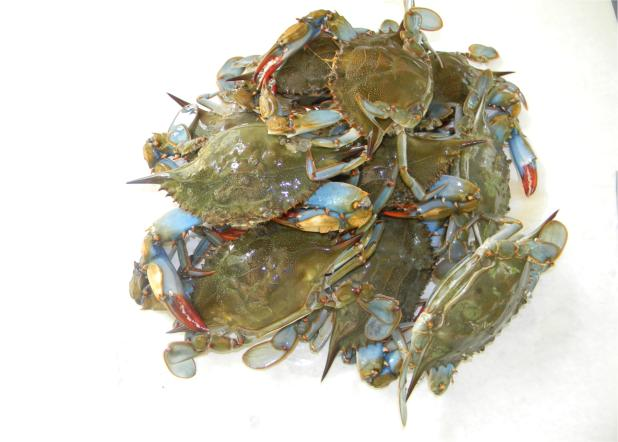 Blue crabs used as fishing bait for Blue crab fishing