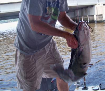 big catfish image