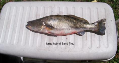 hybrid trout