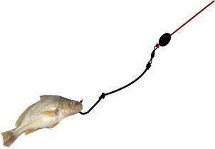 croacker as bait