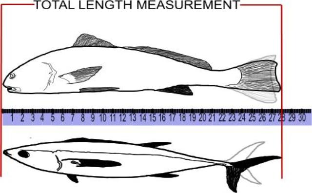 total length