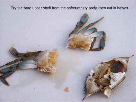 blue crab as bait